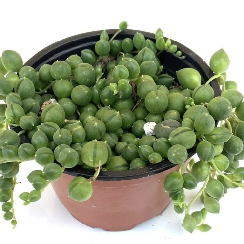 Potted Succulent String of Pearls