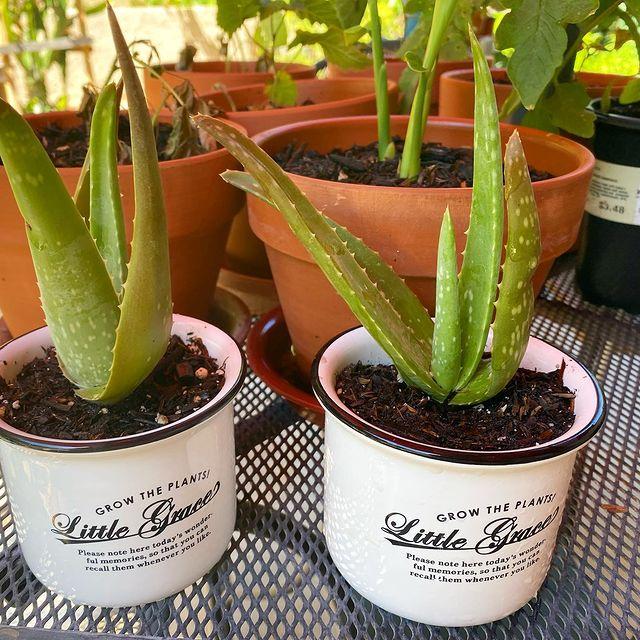 Medicinal Aloe Vera-Properties and advantages of Aloe Vera-SC