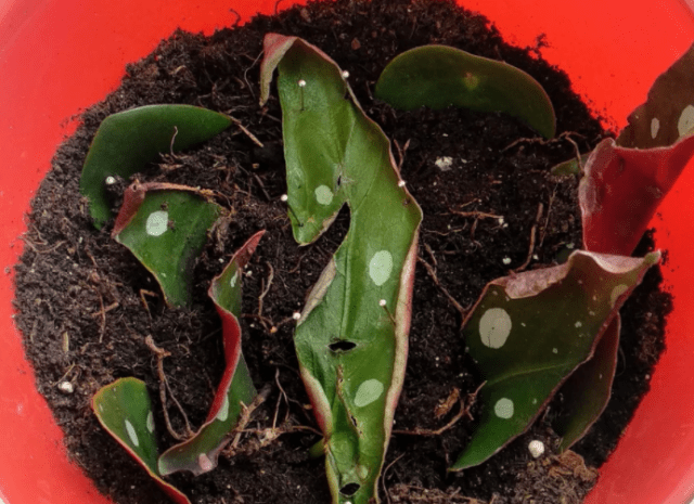 Propagating Leaves Outside-Propagating Plants from Leaf Vein Cuttings-SC