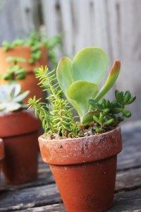 Mini Succulents arrangement