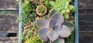 "Echeveria ""Perle von Nurnberg"" arrangement by Sucs for You!"