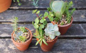 Terracotta succulents Sucs for You!