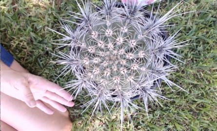Baby Saguaro repotting