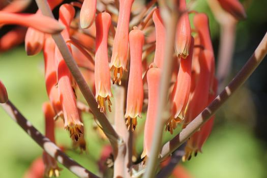 Aloe maculata by Andrea Afra/Sucs for You