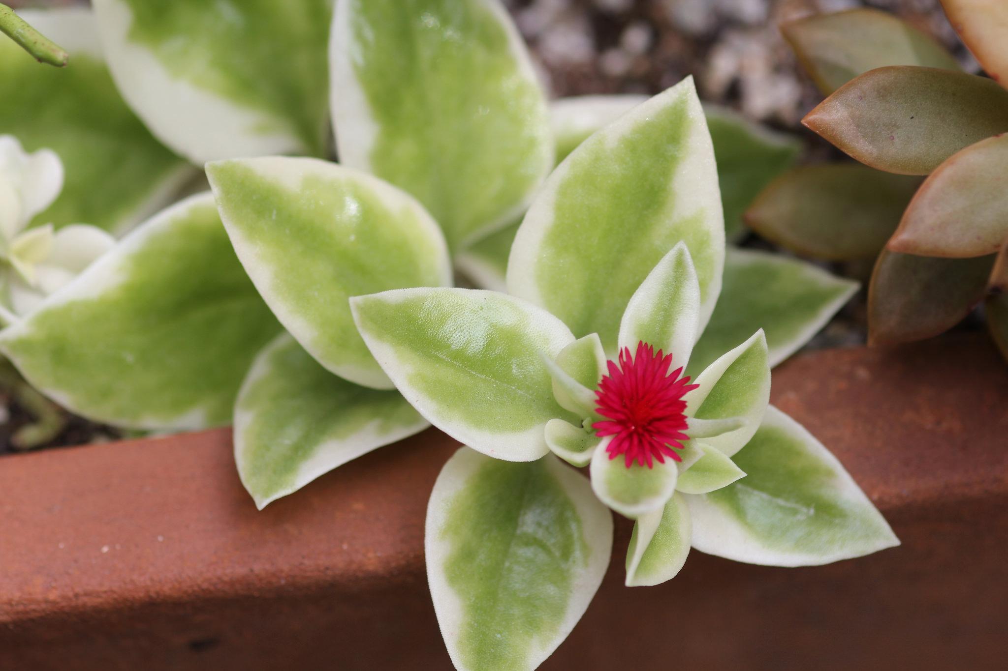 Aptenia cordifolia Variegata 'Heartleaf Ice Plant'