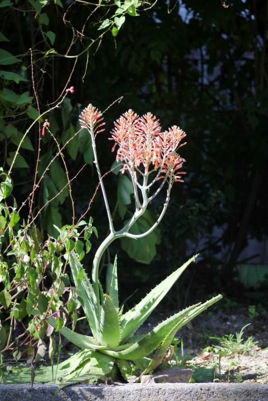 Aloe maculata bloom