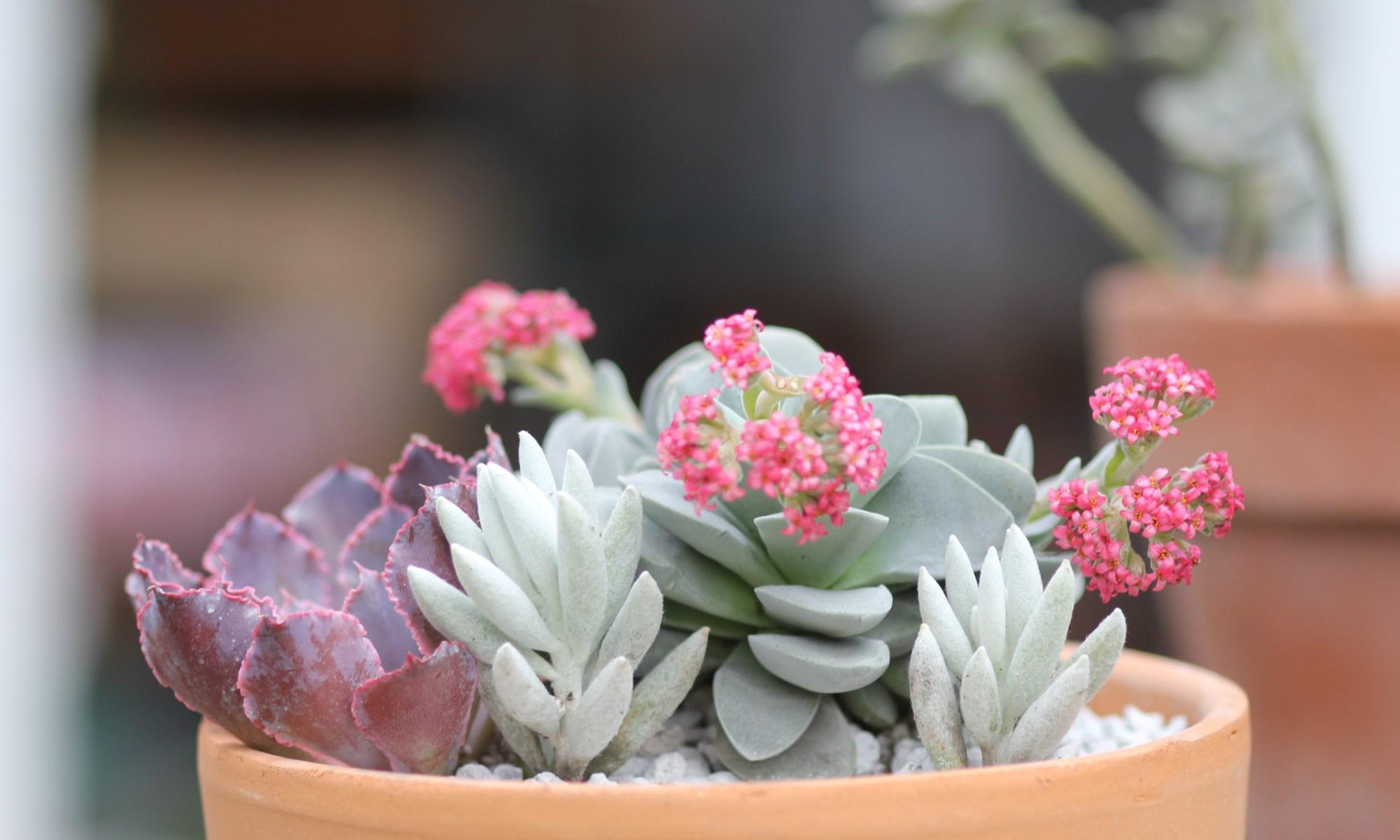 'Crassula Morgan's Pink' C. falcata x C. mesembryanthemopsis
