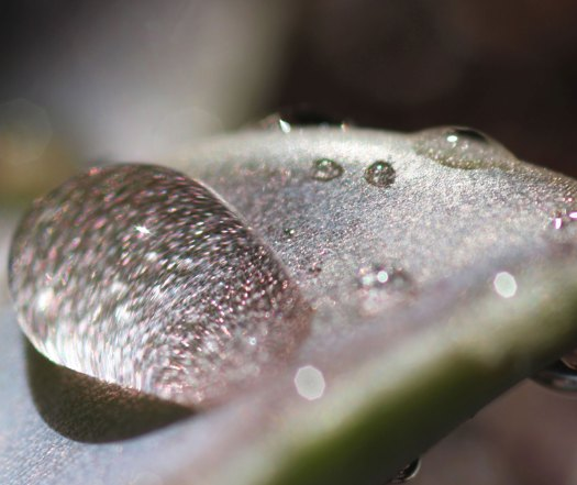 Photo: Macro shot of water beading on a succulent leaf