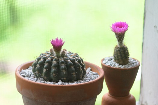 Photo: Notocactus uebelmannianus and Echinocereus reichenbachii; cacti are in the Cactaceae family