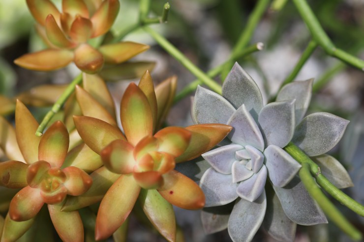 Graptopetalum paraguayense Ghost Plant