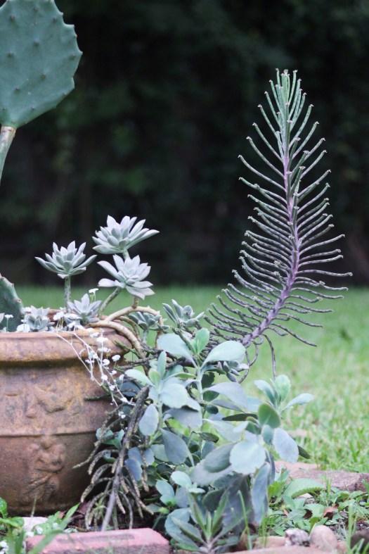 Kalanchoe tubiflora, 4' tall