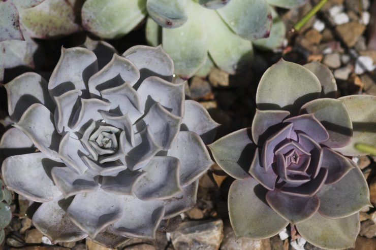 Echeveria Perle von Nurnberg, right (E. lilacina left)