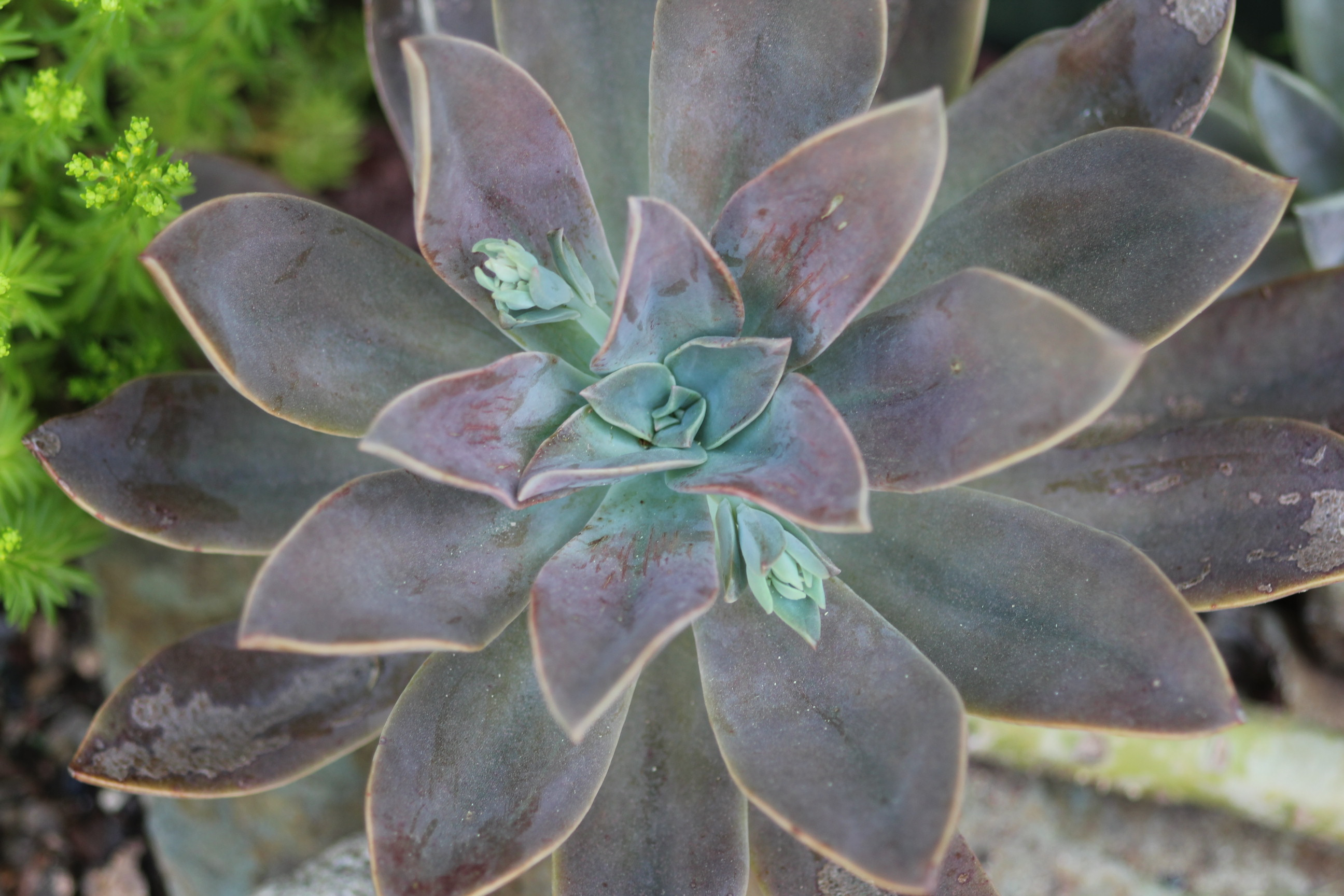 Graptoveria Fred Ives