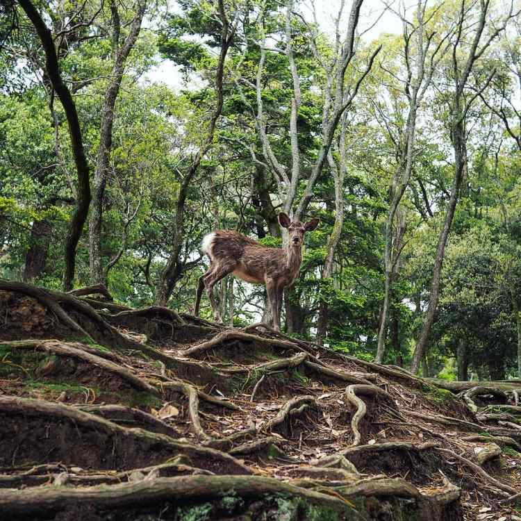 Small deer in the wood. Ground s covered with three roots Nara Deer park. Japan