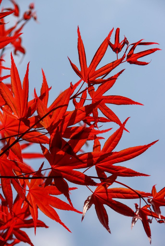 red leafs , fall , maple
