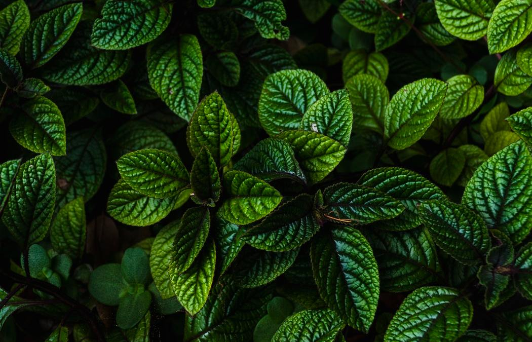 Essentials 101:  For the Love of Peppermint Oil