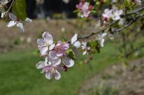 Cherry Blossom #3