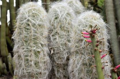 Furry cactus