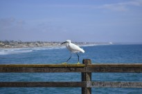 Yellow Footed White Bird (2)