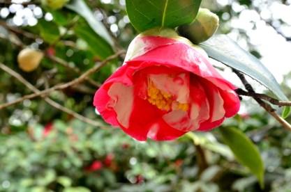 Descanso's Camellias (9)