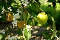 Origin of Oranges (3)