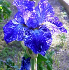 Blue Iris in May
