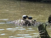 Chicks being fed on their nest