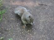 The same Squirrel eating corn I threw down