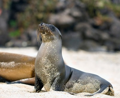 Galapagois Sea Lion