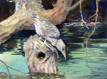 Young Night Heron Fishing $99