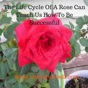 The Life Cycle Of A Rose Can Teach Us How To Be Successful