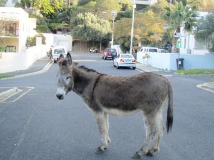 Table Mountain Donkey