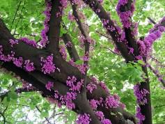 Erguvan Tree