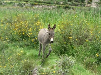 Yanque Donkey
