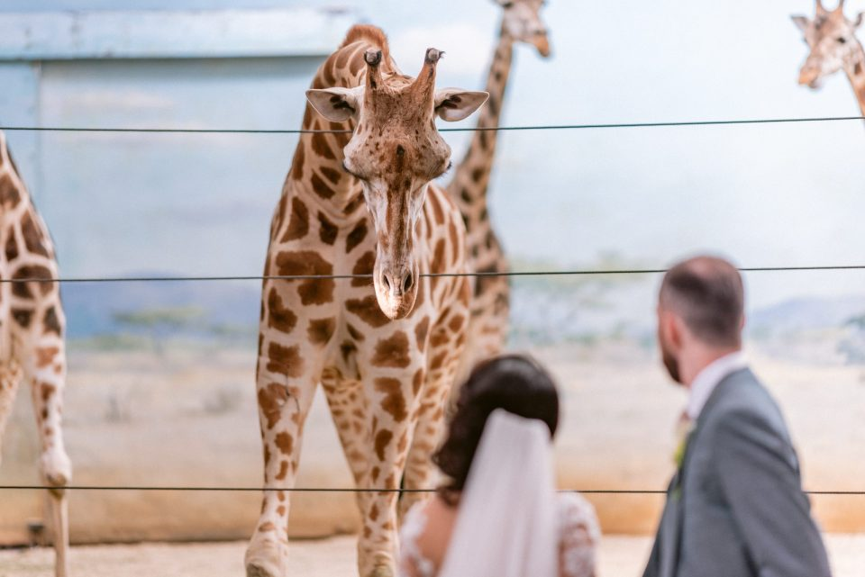 giraffes-bronx-zoo-wedding