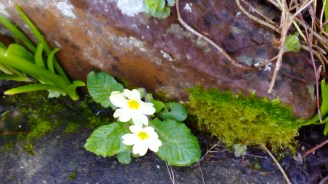 Primroses in a sheltered cranny
