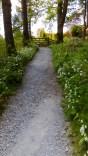 Wild garlic along the path