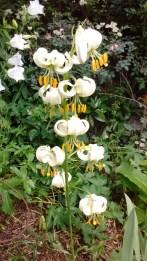 martogon lily