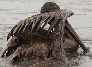 a pelican covered in oil