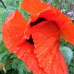 Wet red poppy petals