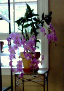 An orchid with cascading pinkish purple blooms