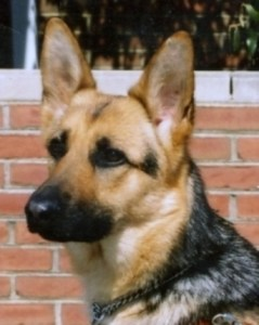 Head shot of Kismet in harness