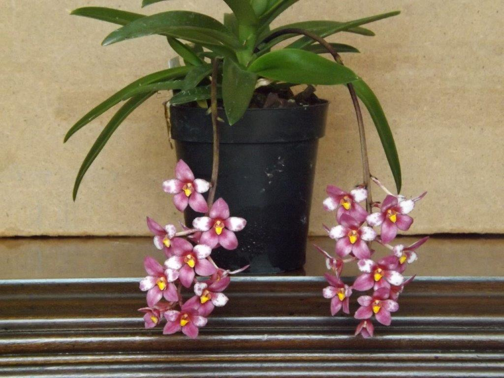 Sarcochilus 'Kulnura Fancy'