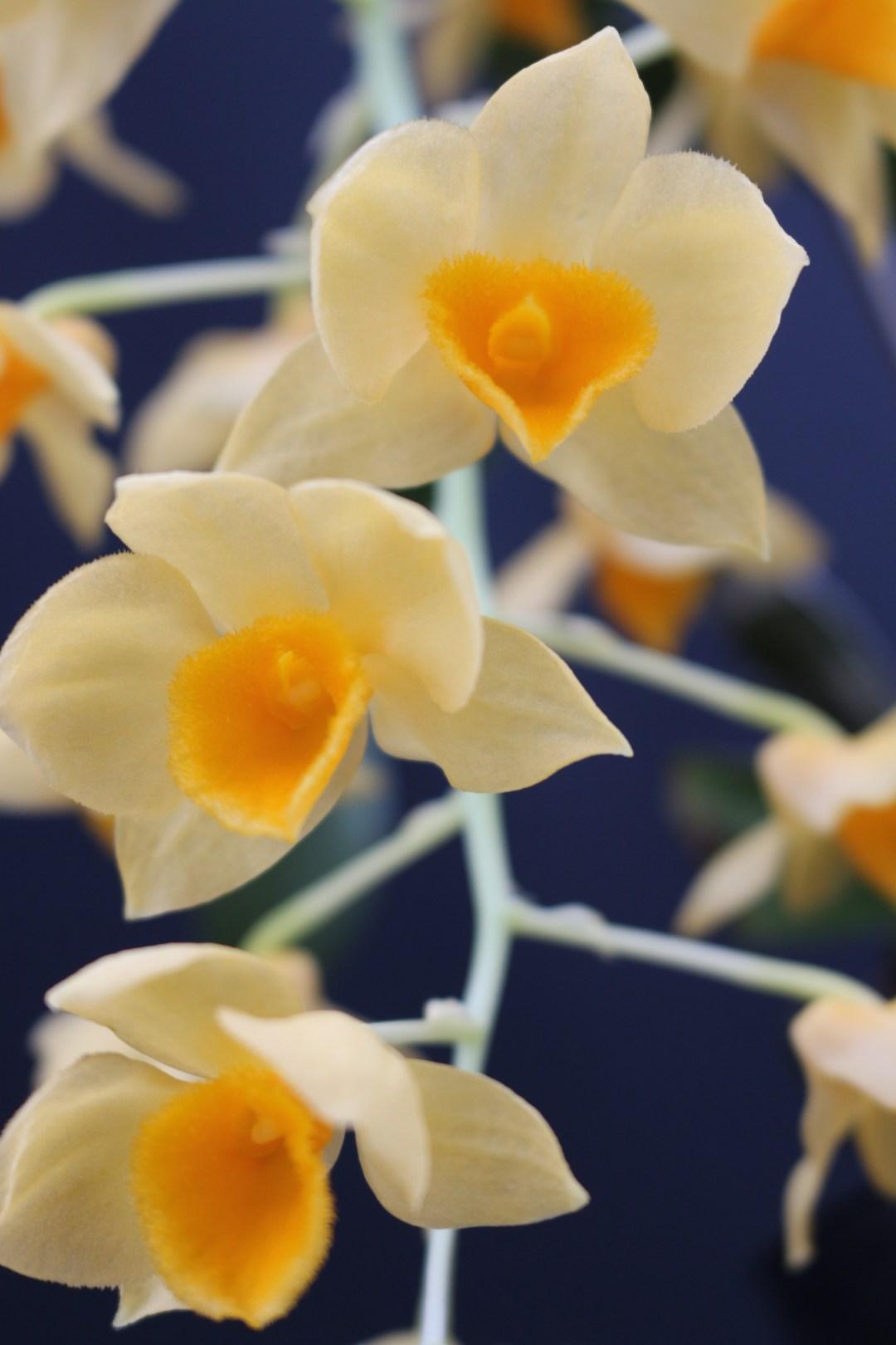Den. grifithianum flower closeup.
