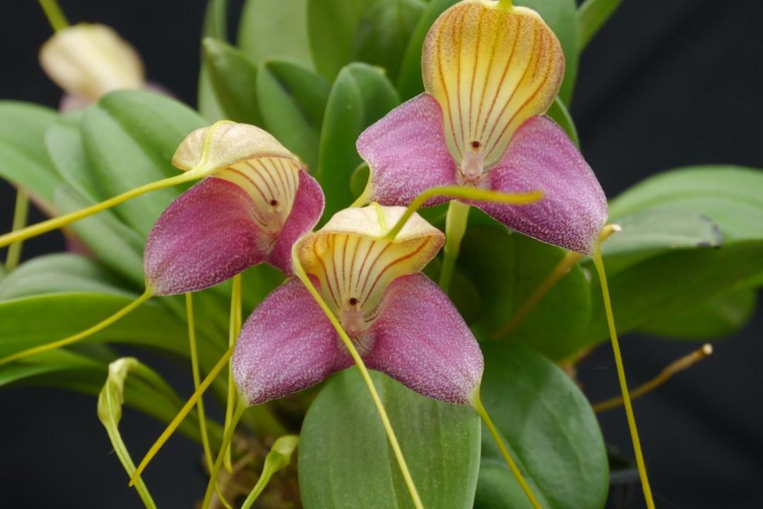 Masdevallia glandulosa (3)