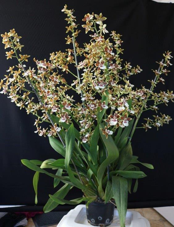 Oncidium species - Bill Gardner Class 14 winner
