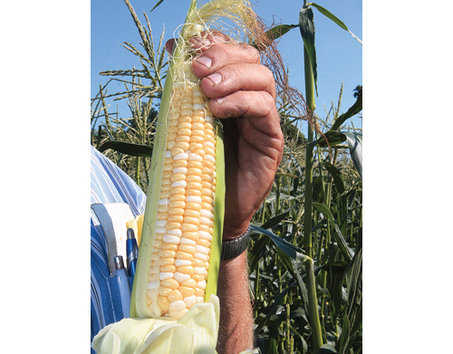 BARBARAELLEN KOCH FILE PHOTO | Some of the North Fork's corn crops are known to be grown from genetically modified seeds.