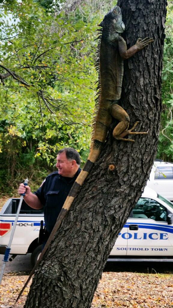 Iguana found in Greenport