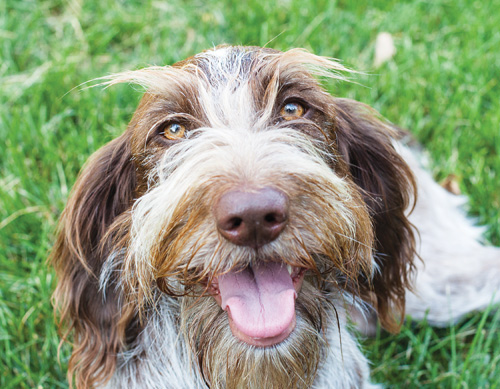 Emme, a 2-year-old Griffon/Brittany spaniel mix, loves to steal socks and shoes. (Credit: Katharine Schroeder)