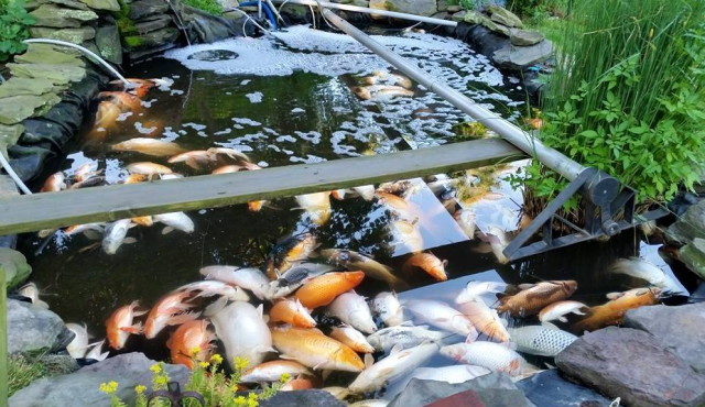 Close to 120 koi died in a Mattituck man's backyard pond after Tuesday night's thunderstorm. (Courtesy photo)